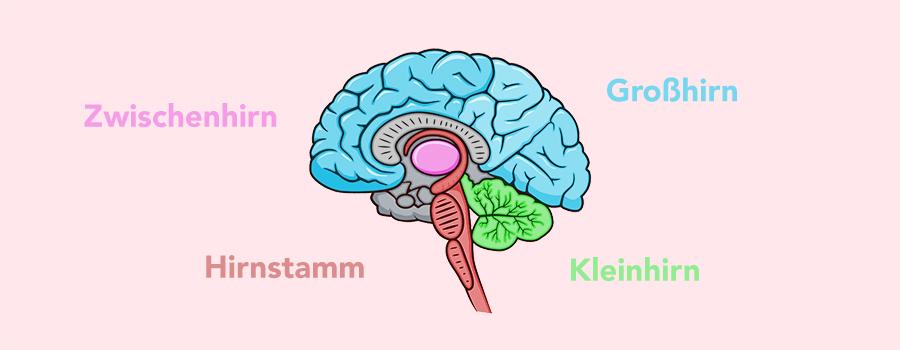 Aufbau Gehirn