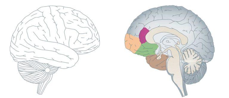 Gehirn Fakten
